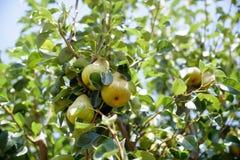 Плодоовощ груш на крупном плане ветви дерева Стоковые Фотографии RF