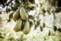 Плодоовощ груш на крупном плане ветви дерева Стоковое Изображение