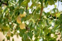 Плодоовощ груш на крупном плане ветви дерева Стоковое Изображение RF