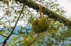 Плодоовощ дуриана на дереве в саде Стоковые Изображения