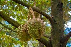 Плодоовощ дуриана на дереве в саде Стоковые Изображения RF