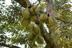 Плодоовощ дуриана на дереве Стоковая Фотография RF