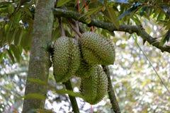 Плодоовощ дуриана на дереве Стоковое Изображение RF