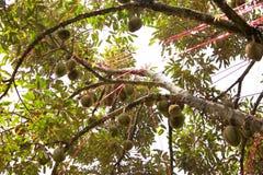 Плодоовощ дуриана на дереве Стоковое Фото