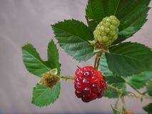 Плодоовощ ежевики - красный цвет Стоковые Фотографии RF