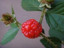 Плодоовощ ежевики - красный цвет Стоковые Изображения RF