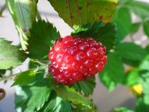 Плодоовощ ежевики - красный цвет Стоковое Изображение RF