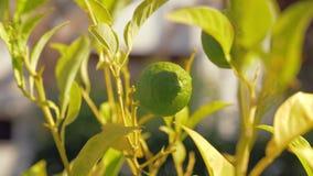 Плодоовощ известки в дереве сток-видео