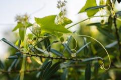 Плодоовощ и колючки заводов squirting огурца Elaterium Ecballium на предпосылке зеленых листьев Стоковая Фотография RF