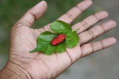 Плодоовощ и лист красной шелковицы Стоковые Фотографии RF