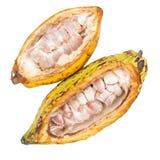 Плодоовощ какао, сырцовые фасоли какао, стручок какао изолированный на белом backgr Стоковые Изображения RF