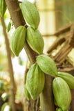 Плодоовощ какао, сырцовые фасоли какао, стручок какао на дереве Стоковое Изображение