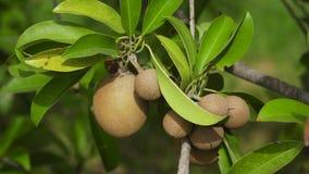 Плодоовощ кивиа на дереве сток-видео