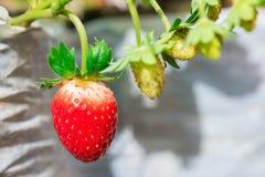 Плодоовощ клубники растет Стоковая Фотография