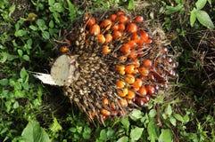 Плодоовощ ладони Plat группа семени Стоковая Фотография RF