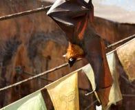 плодоовощ летучей мыши Стоковое Фото