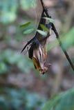 плодоовощ летучей мыши стоковая фотография rf