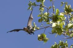 плодоовощ летучей мыши