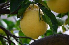 Плодоовощ лимона на дереве Стоковые Фотографии RF