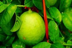 Плодоовощ лимона повешенный на ветви Стоковое Изображение