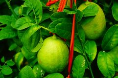 Плодоовощ лимона повешенный на ветви Стоковое фото RF