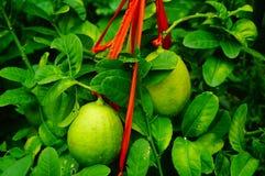 Плодоовощ лимона повешенный на ветви Стоковая Фотография RF
