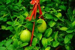 Плодоовощ лимона повешенный на ветви Стоковая Фотография