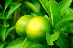 Плодоовощ лимона повешенный на ветви Стоковые Изображения RF