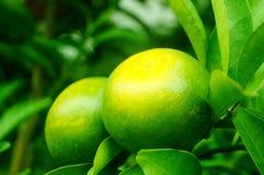Плодоовощ лимона повешенный на ветви Стоковое Изображение RF