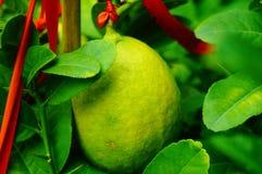 Плодоовощ лимона повешенный на ветви Стоковое Фото