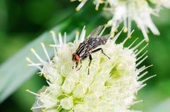 плодоовощ мухы стоковые изображения rf