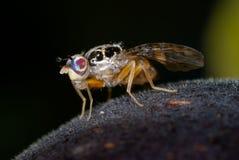 плодоовощ мухы Стоковое Изображение