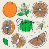 Плодоовощ притяжки руки установленный оранжевый Органическая свежая Элемент Colorfull Винтажный эскиз Чертежи всех, половинных и  Стоковое Изображение