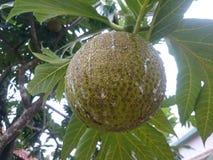 Плодоовощ хлебных деревьев очень вкусный вкусный Стоковое Фото