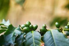 Плодоовощ arabica кофейного дерева Стоковая Фотография