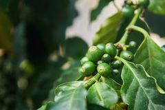 Плодоовощ arabica кофейного дерева Стоковые Фотографии RF