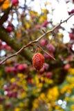 Плодоовощ Crabapple на дереве Стоковое Фото