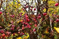 Плодоовощ Crabapple на дереве Стоковое Изображение