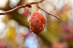 Плодоовощ Crabapple на дереве Стоковые Изображения