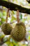 плодоовощ durians tripical Стоковое фото RF