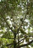 плодоовощ durians tripical Стоковое Изображение RF