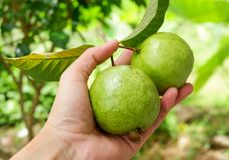 Плодоовощ Guava в руке Стоковая Фотография RF