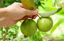 Плодоовощ Guava в руке Стоковые Изображения