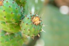 Плодоовощ Opuntia или шиповатой груши стоковые фотографии rf