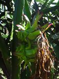 Плодоовощ pitahaya Стоковая Фотография RF