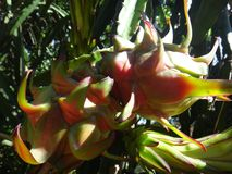 Плодоовощ pitahaya Стоковые Фотографии RF