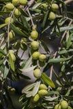 Плоды ветвей апельсинового дерева цитруса стоковое фото