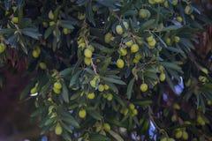 Плоды ветвей апельсинового дерева цитруса стоковые фотографии rf