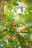Плоды гранатового дерева на ветви дерева в саде стоковые изображения rf