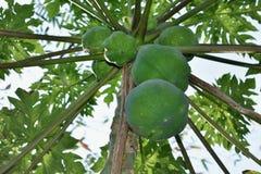 Плоды папапайи дерева папапайи в саде в папапайе западной природы Бен стоковые фото